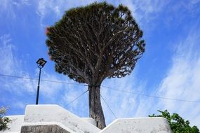 canary island dragon tree in Tenerife