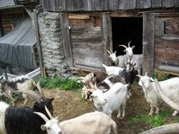 herd of goats at weathered stall, switzerland