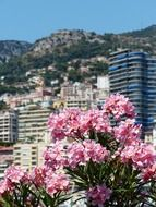 blooming oleander in view of city at mountain, monaco