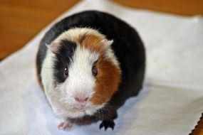 three coloured guinea pig, front view