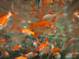 goldfish aquarium underwater life