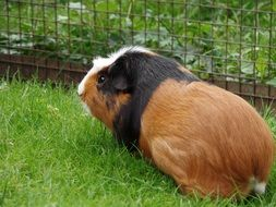 three coloured guinea pig on fenced lawn