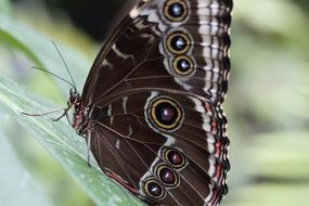 blue morpho butterfly in the rainforest