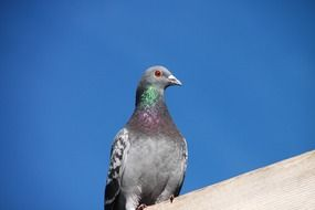 grey pigeon sits on roof at sky