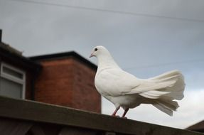 White dove bird on a roof