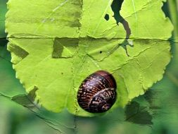 brown snail on green leaf