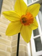 yellow daffodil in front of brick wall