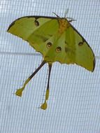 green comet moth butterfly large eyespots