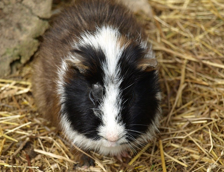 tricolor guinea pig lying on hay