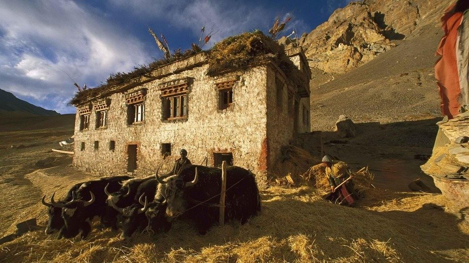people with cattle at ruined old building in mountains, india, kashmir