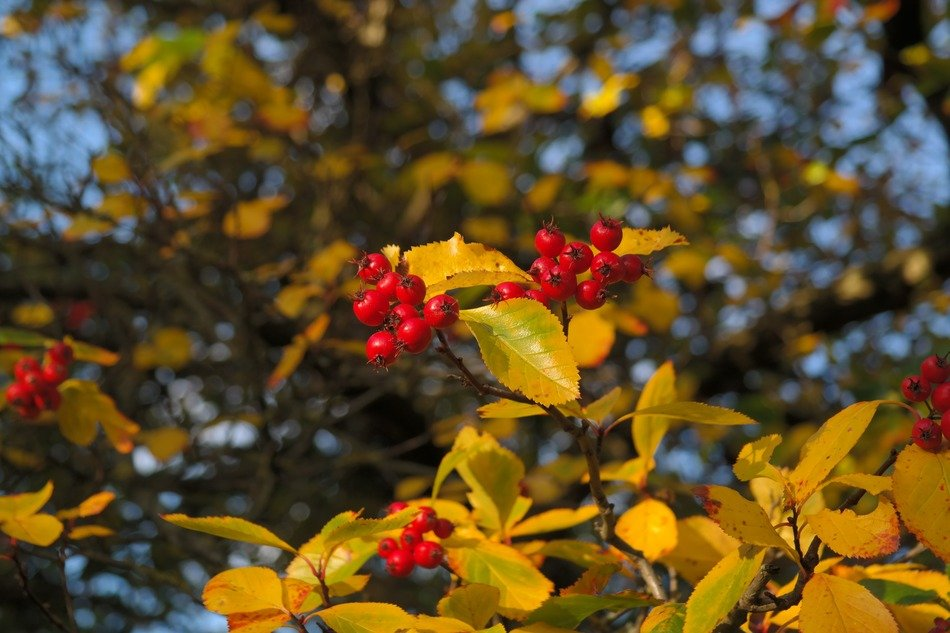 red berries tree leaves