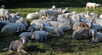 a flock of sheep lies in a pasture