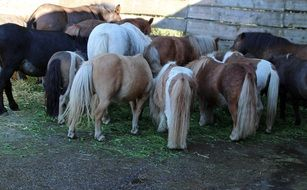 feeding long-haired ponies on the farm
