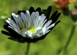 daisy with white and black petals