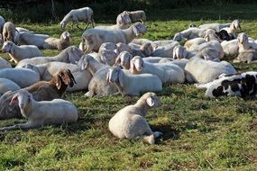 Flock of sheep in pasture
