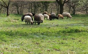 sheep eating grass on a meadow