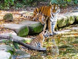 tigers in the Nuremberg zoo