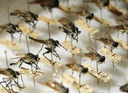 entomology of mosquitoes