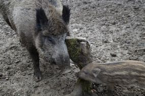 wild boars mother and child
