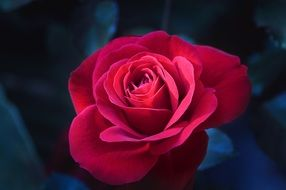 rose flower red blossom bloom