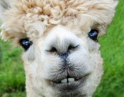 alpaca smile teeth fur funny farm