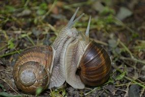 snails demonstrate love