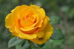 Perfect yellow rose