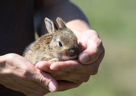 small rabbit in hands