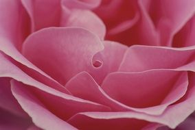 sensitive pink rose petals