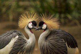 couple of grey crowned cranes