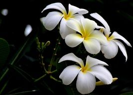 nice white and yellow flowers on dark background