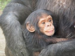 chimpanzee baby mother love