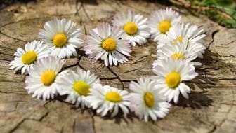 daisies lie in the shape of a heart