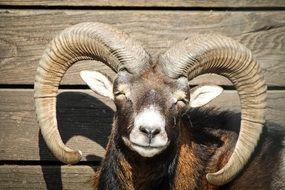 Photo of the happy mouflon with horns