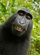self-portrait of a crested macaque