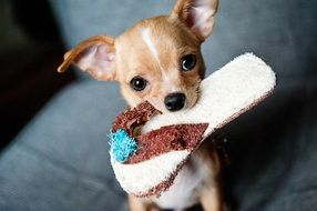 chihuahua puppy with slippers