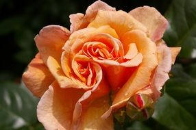 Orange rose in full blossom