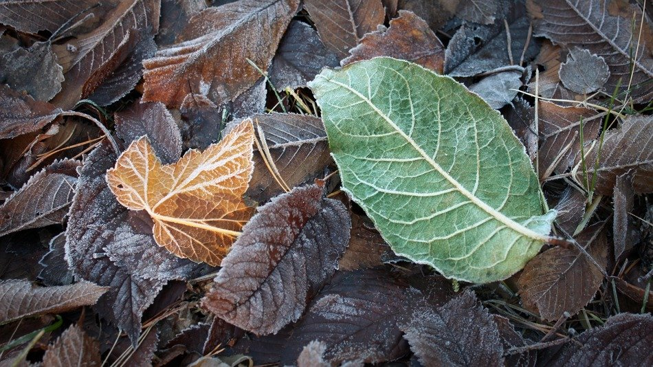 autumn foliage in frost closeup