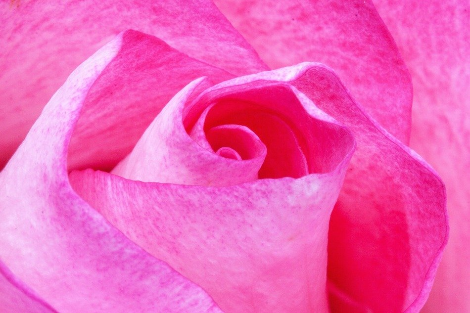 twisted pink petals close-up