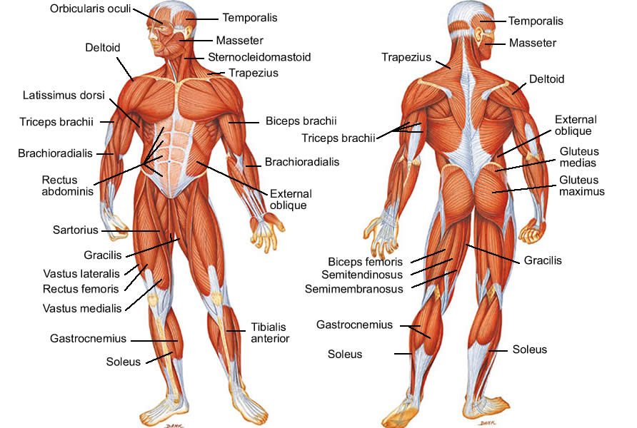 Muscle Diagram Of Human Body Free Image