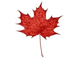red maple leaf on a white background