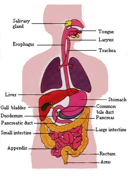 Diagram Of Human Digestive System clipart