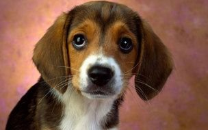 Cute Beagle Puppy dog