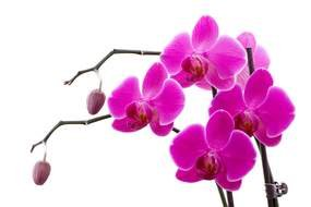 beautiful Orchid Flower drawing