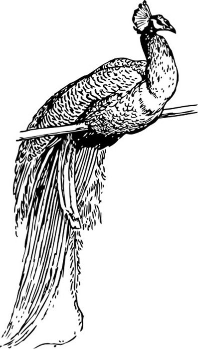 Black and white drawing of the peacock clipart