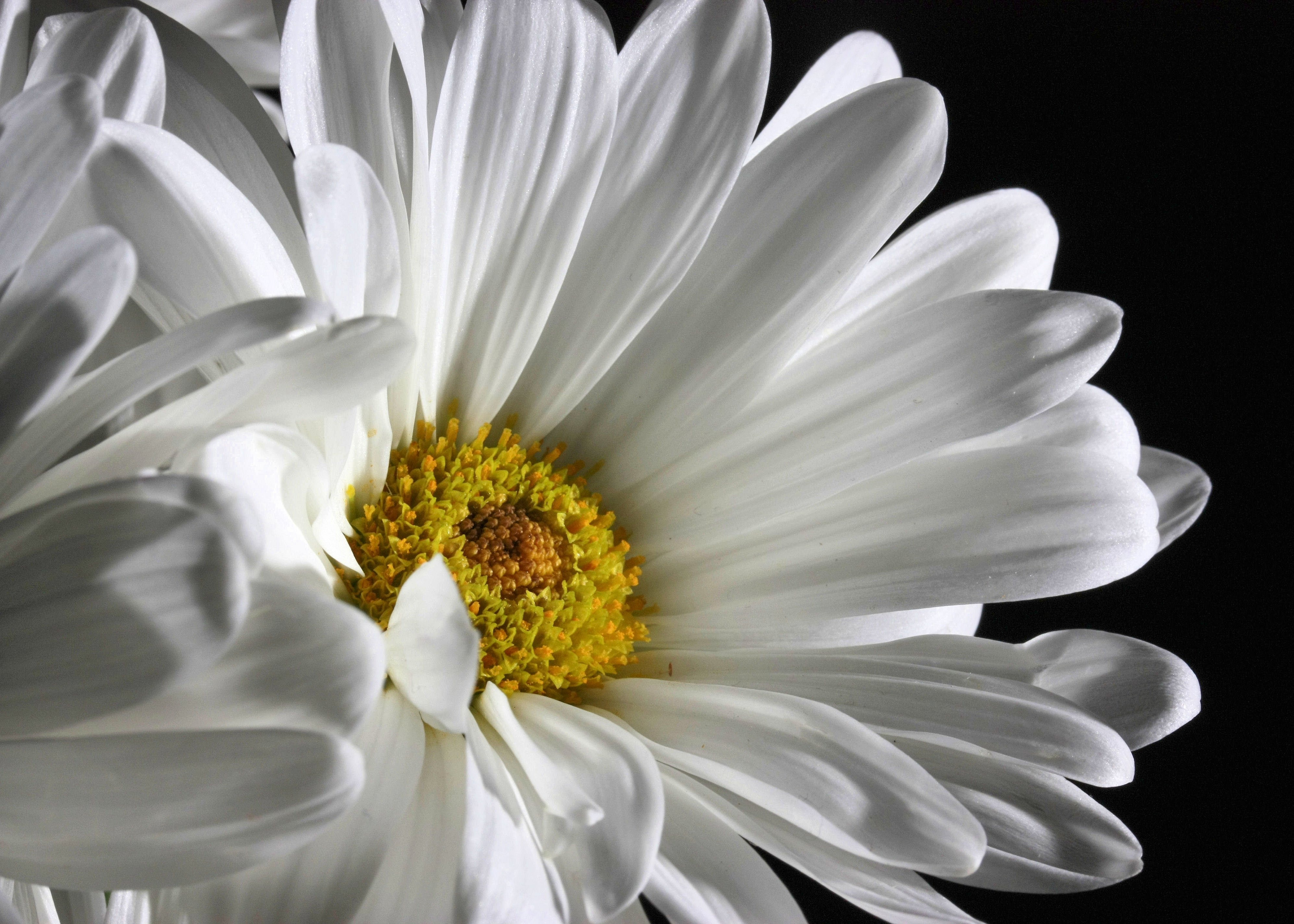 daisy Daisy is a sparkly floral-woody fragrance, fresh and feminine at the same time it is devoted to a sophisticated, seductive, and dazzling woman, which at the same time strives to simplicity.