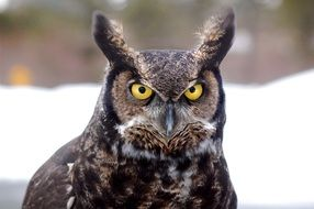 pretty great horned owl