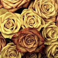 many roses in pastel tone
