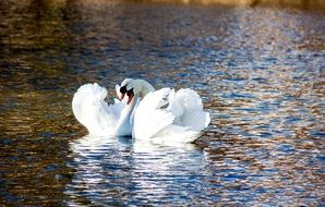 pair of swans forming a heart shape