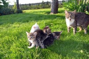 cat with kittens play on green grass
